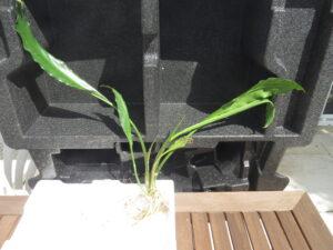 Pflanzensteckbrief Lagenandra ovata