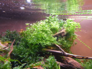 Pflanzensteckbrief Lomariopsis lineata Süßwassertang