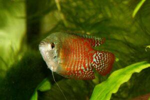 Schaumnest bei roten Zwergfadenfischen