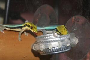 blaue Bambus-Taggeckos beim Fressen
