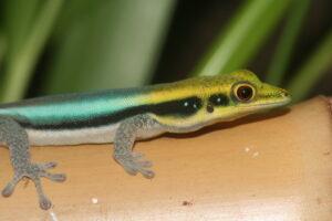 blauer Bambus-Taggecko (Phelsuma klemmeri)